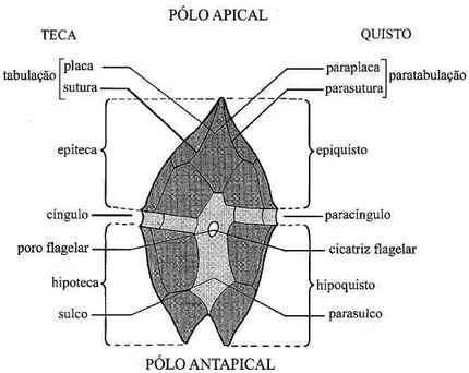 Dinoflagelados