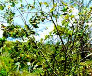 Árvores brasileiras harri lorenzi
