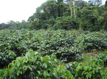 Guaranazeiro
