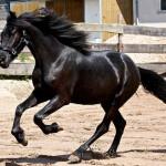 Cavalo Arabo Friesian