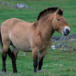 Cavalo da Mongólia