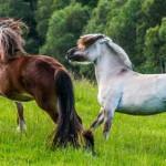 Cavalo Dole