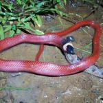 Cobra Muçurana