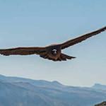 Condor da Califórnia