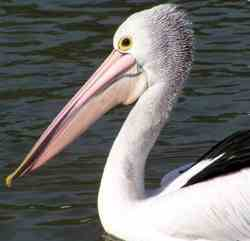 O Pelicano Distribuidora Pelicano, Reprodu&#231...