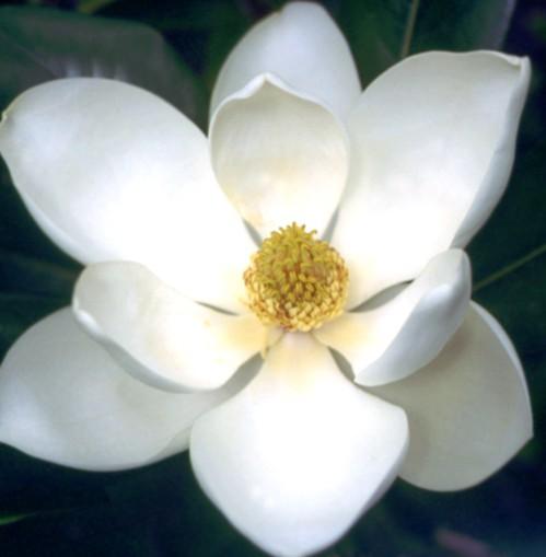 Lotus Magnólia, Florais de Saint Germain Lotus Magnólia