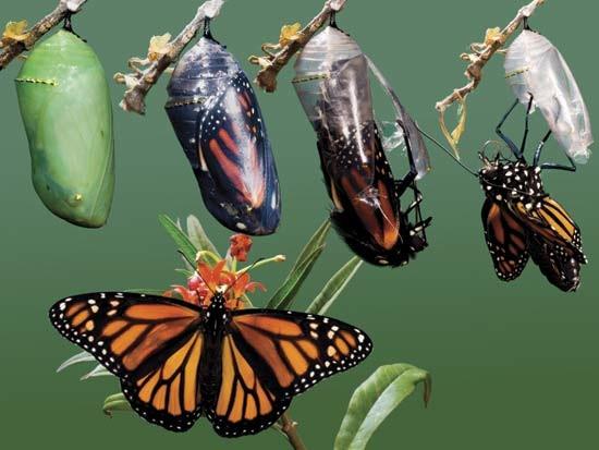 Metamorfose da borboleta