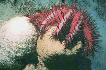 Acanthaster planci a alimentar-se dos pólipos de coral