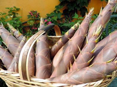 Broto de Bambu