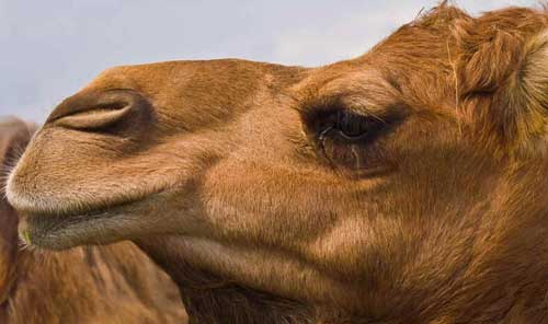 Camelídeos